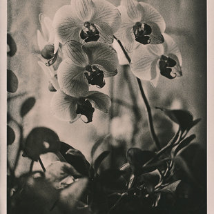 orchid Lith #3